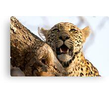 Induna - Young Male Leopard Canvas Print