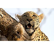 Induna - Young Male Leopard Photographic Print