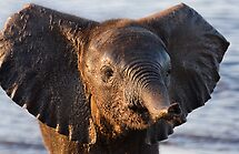 Elephant Calf by Scott Carr