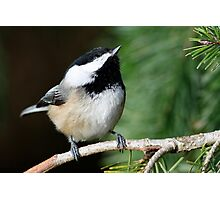 Chickadee Skywatcher: Peering Upward Photographic Print