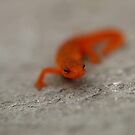 Salamander 2 by Carrie Hittel