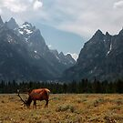 Elk in the Grand Tetons by Daniel Owens