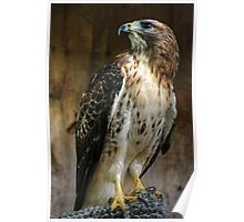 Red Tail Hawk Poster