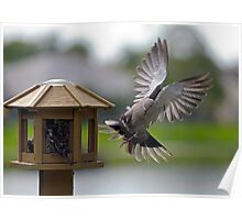 Ring Necked Dove Poster