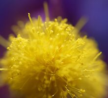 Wattle Bud by SharonD