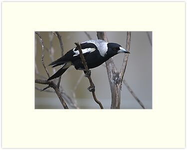 Magpie by Vikki Shedden Photography