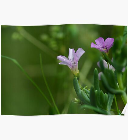 lilac flower iii Poster