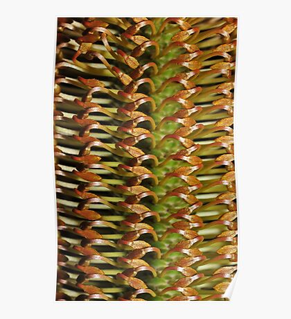 Banksia buds Poster