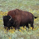 Buffalo in the Meadow by Daniel Owens