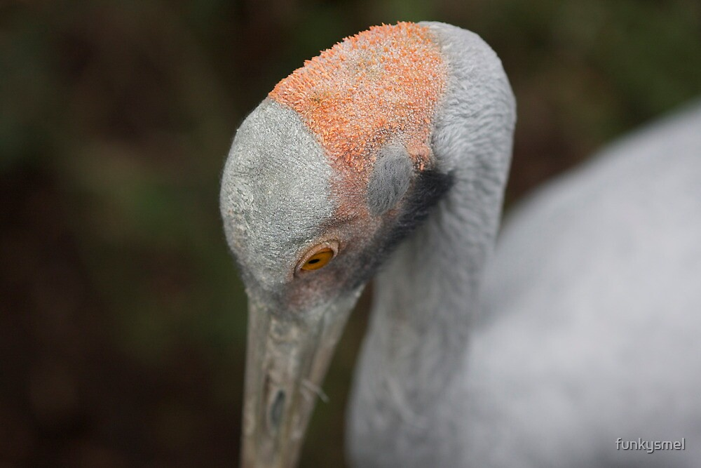 Brolga by Michelle Dewis
