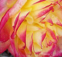 Tender Rose - Chameleon Rose by Carol Appelbee