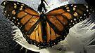 Monarch  by ArtBee