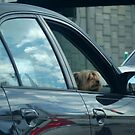 Friendly Passenger Dog in car looking out window by Rick Short