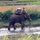 Working elephant, Thailand by John Spies