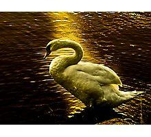 Swan at sunset Photographic Print