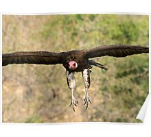 Hooded vulture in flight Poster