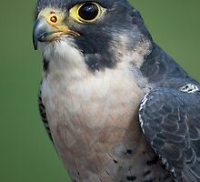 Peregrin Falcon by Gill Langridge
