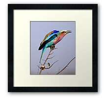 Lilac Breasted Roller - Pre Flight Check Framed Print