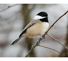 Chickadee: Winter Pose Photographic Print
