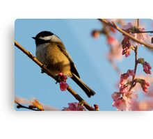 Chickadee: Bathed in a Fading Light Metal Print
