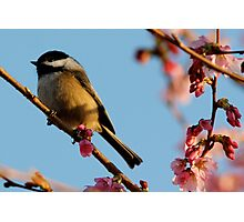Chickadee: Bathed in a Fading Light Photographic Print