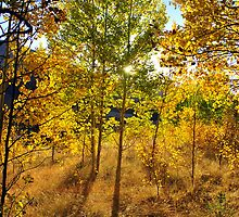 Aspen gold in Colorado by Rbyham