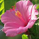 Pretty Pink In The Sun by June Holbrook