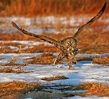 """Great Gray Owl """"Runway"""" by Bill McMullen"""