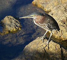 Lava Heron on Peanut Island ~Lake Worth, FL by mountainshadows