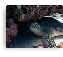 Millie the baby turtle Canvas Print