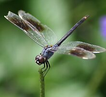 Four-Spotted Pennant by Amy Godwin