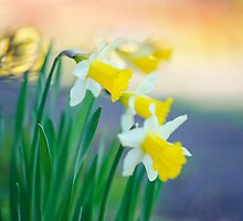 Daffodil Day... by Natalia Campbell