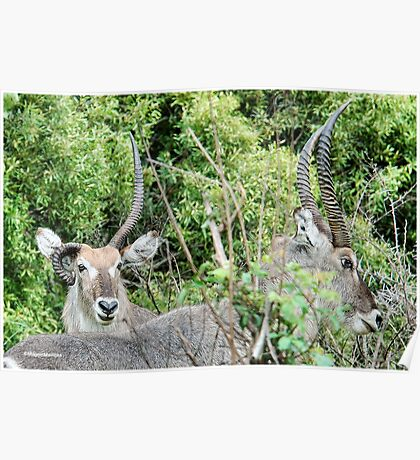 SURVIVAL - THE WATERBUCK - Kobus ellipsiprymnus - WATERBOK Poster