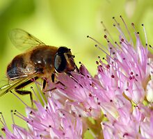 Honeybee on Sedum in Peebles Garden by photobymdavey