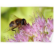 Honeybee on Sedum in Peebles Garden Poster