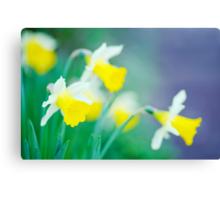 more daffodils... Canvas Print