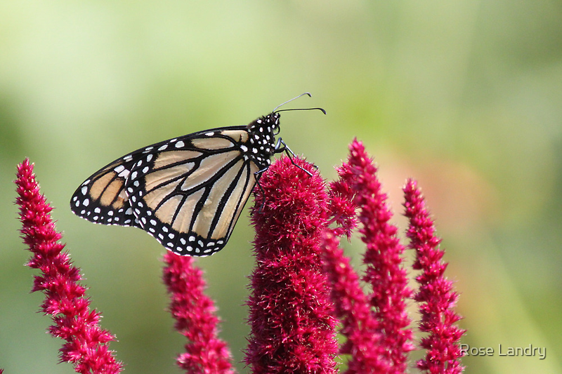 Butterfly & Love Lies Bleeding  by Rose Landry