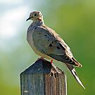 Mourning Dove by Rich Summers