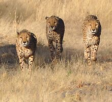 Hungry Cheetas by Denise Ray