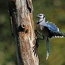 Blue Jay In Action by Bill McMullen