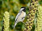 black capped chickadee by tego53