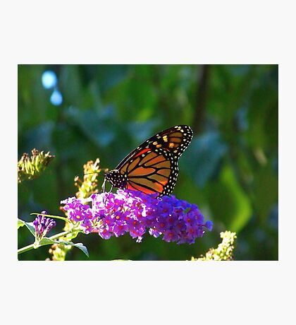 A Monarch Butterfly Photographic Print