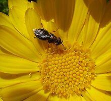 Bee in Calendula by Erica Corr