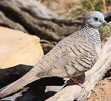 Peaceful Dove by burnettbirder