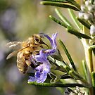 Bee on Rosemary by Edge-of-dreams