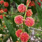 The Red Wattle's Out..! by Meg Hart
