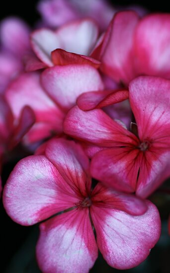 Gorgeous Geraniums by yolanda