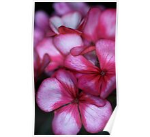Gorgeous Geraniums Poster