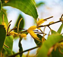 Kakadu  - Wattle Flowers by Jaxybelle