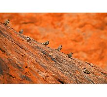 zebra finches Photographic Print